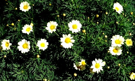 DALMATINSKI BUHAČ – najbolji insekticid