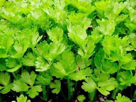 Započnite sjetvenu sezonu celerom