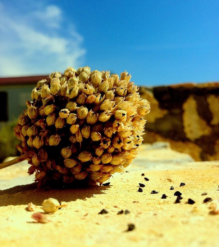Uzgoj luka iz sjemena