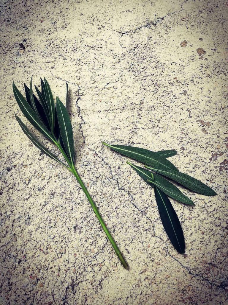 Oleander reznica1