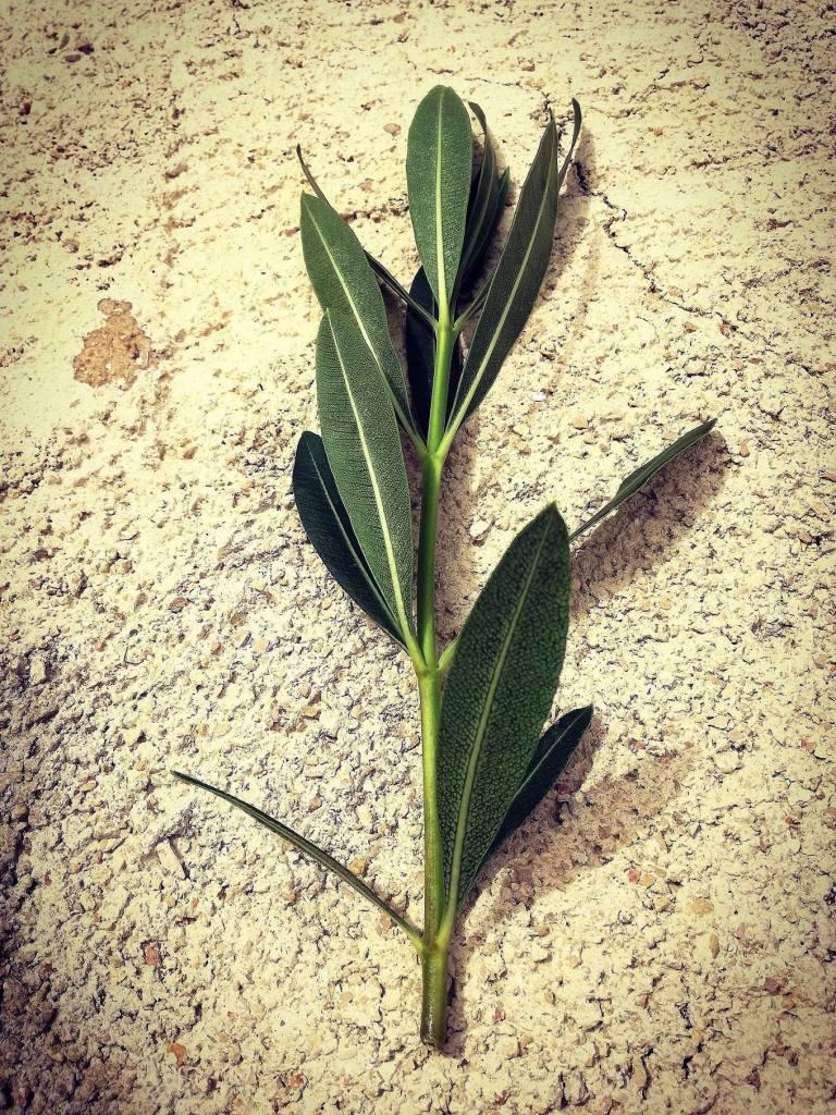 Oleander reznica2