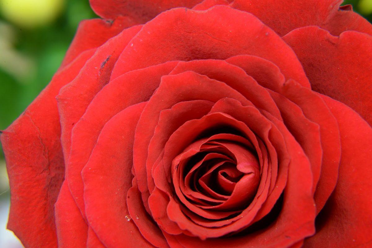 Seoba ruža je ipak moguća!