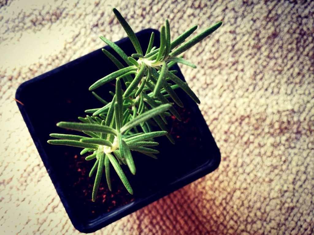 Kako uzgojiti ružmarin u tegli