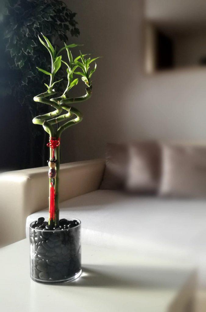 Bamboo u kućnom prostoru Marica vrtlarica savjetuje